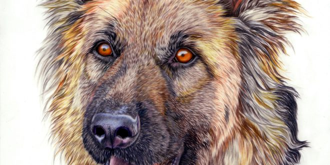 """Orion"", Alsatian in coloured pencil on drawing film."