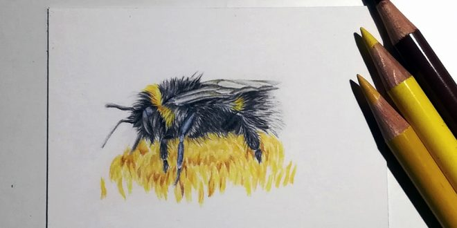 Bee, study in coloured pencil.