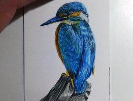 Kingfisher study in coloured pencils on Strathmore smooth paper.
