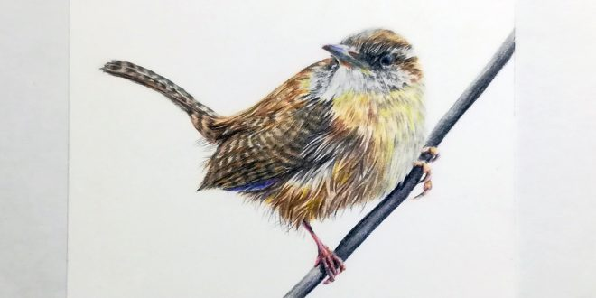 Wren, coloured pencil study on Strathmore Smooth, 3.5″ x 2.5″.