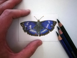 Purple Emperor, study on Strathmore smooth paper, 3.5″ x 2.5″