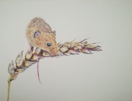 05-05-20 – Harvest Mouse WIP