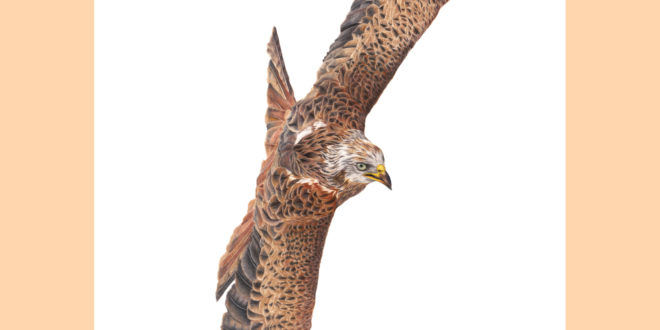 """The Red Kite"""