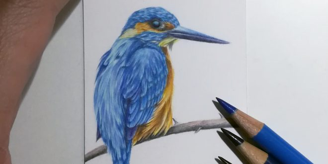Kingfisher study commission, coloured pencil on Strathmore smooth.