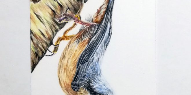 Nuthatch, study in coloured pencil on Strathmore Smooth paper, 3.5″x2.5″.