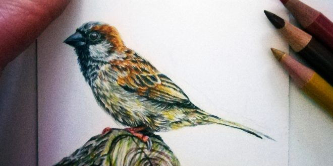 Sparrow study, coloured pencils on Strathmore Bristol smooth paper.