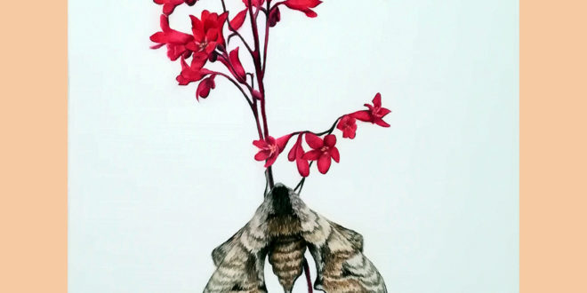 Eyed Hawk Moth, coloured pencil on paper.